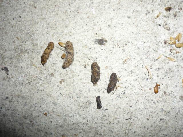 ふん 画像 ネズミ ねずみのフン(糞)を見つけた時の対処法 消毒する時の注意点